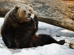 札幌圏内でヒグマが人間を殺して腹部、臀部などを食べて…持っていれば生存確率が上がるものとは